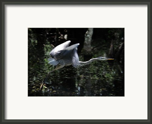 Great Blue Heron Framed Print By Bill Martin