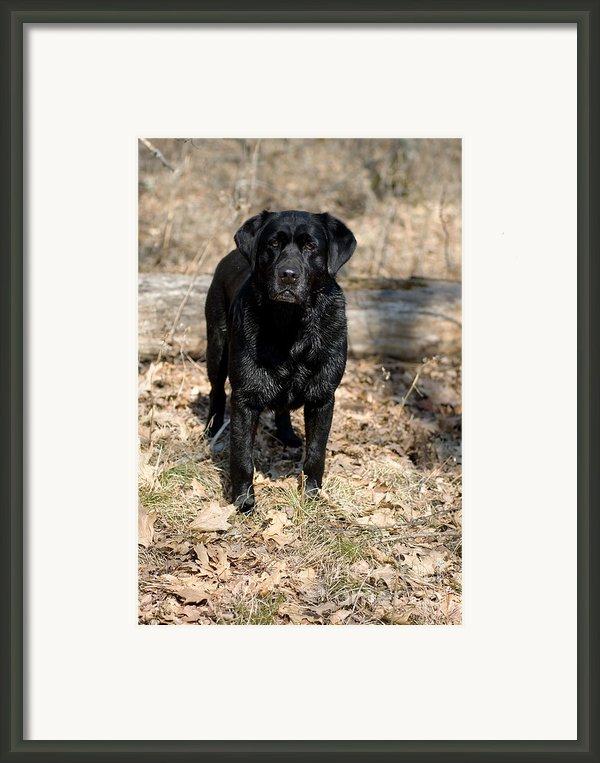 Black Labrador Retriever Framed Print By Linda Freshwaters Arndt