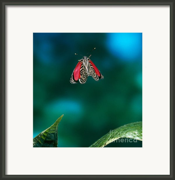 89 Butterfly In Flight Framed Print By Stephen Dalton