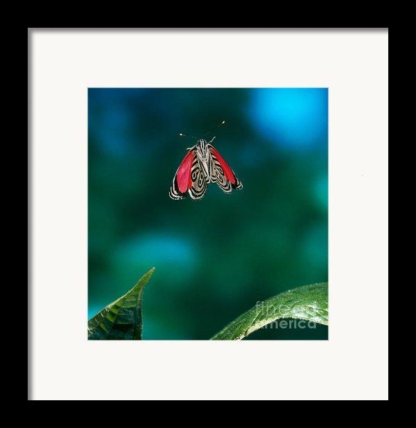89 Butterfly In Flight Framed Print By Stephen Dalton
