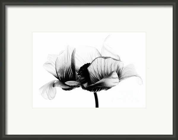 Anemone Framed Print By Mark Johnson