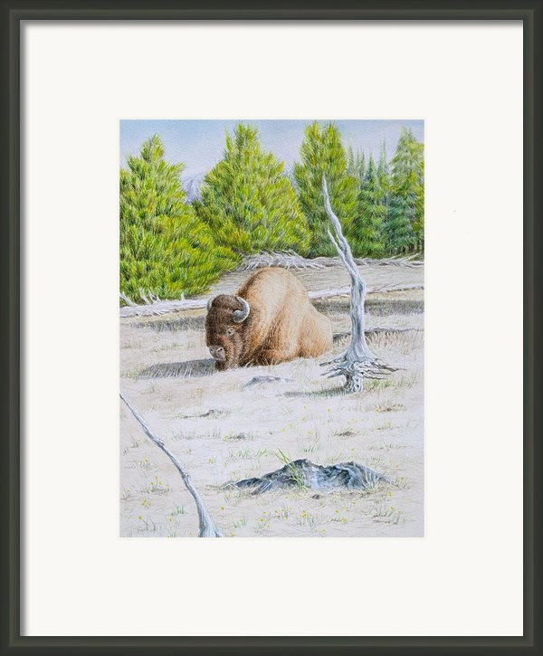 A Buffalo Sits In Yellowstone Framed Print By Michele Myers
