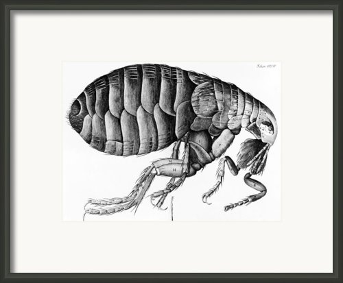 A Flea From Microscope Observation Framed Print By Robert Hooke