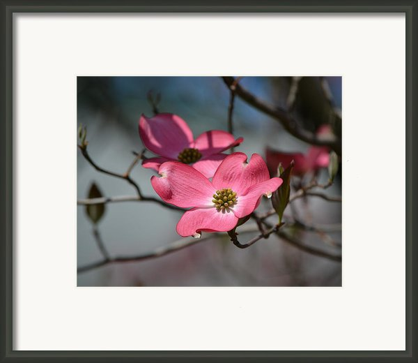 A Kiss Of Pink Framed Print By Mary Zeman