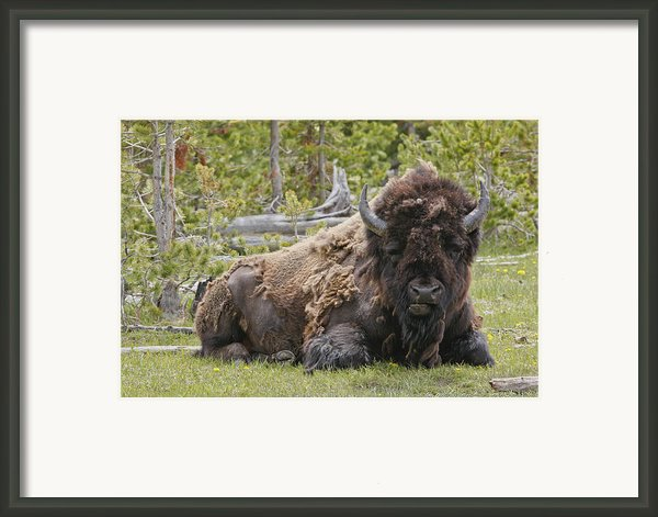 A Lot Of Bull Framed Print By Charles Warren