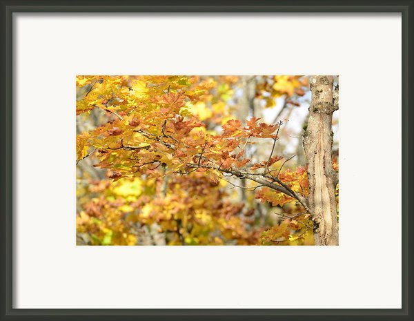 A Maple Leafs Tree Framed Print By Tommy Hammarsten