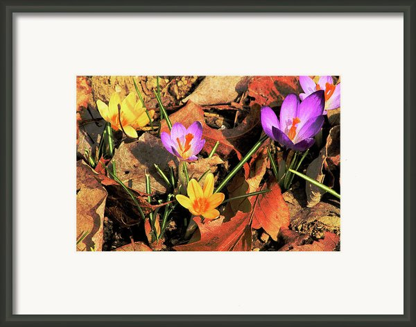 A New Season Blooms Framed Print By Karol  Livote