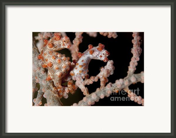 A Pair Of Pygmy Seahorse On Sea Fan Framed Print By Steve Jones