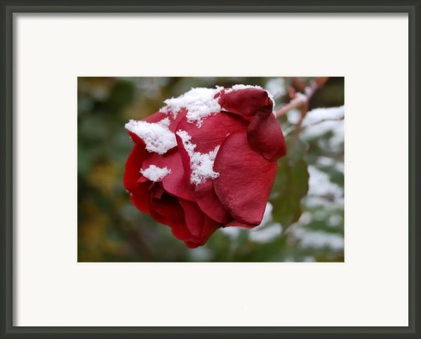 A Passing Unrequited - Rose In Winter Framed Print By Steven Milner