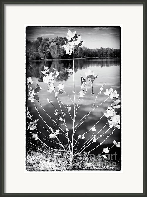 A Tree Grows In The Pine Barrens Framed Print By John Rizzuto