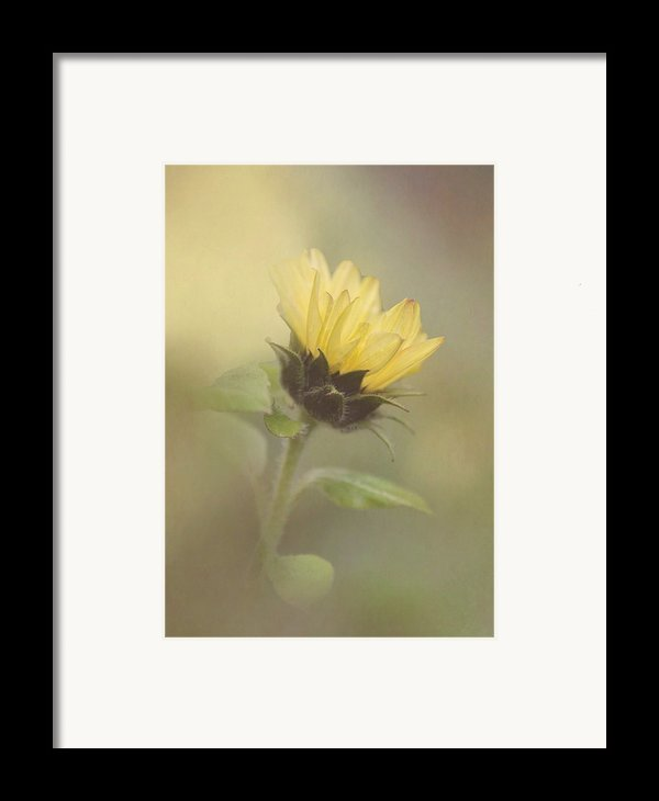 A Whisper Of A Sunflower Framed Print By Angie Vogel