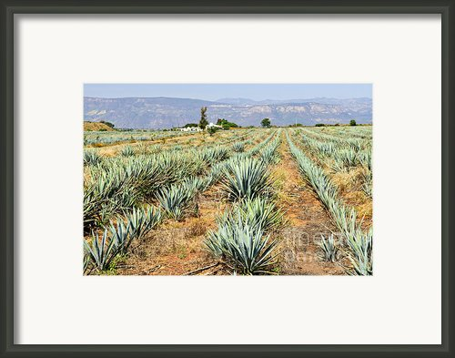 Agave Cactus Field In Mexico Framed Print By Elena Elisseeva