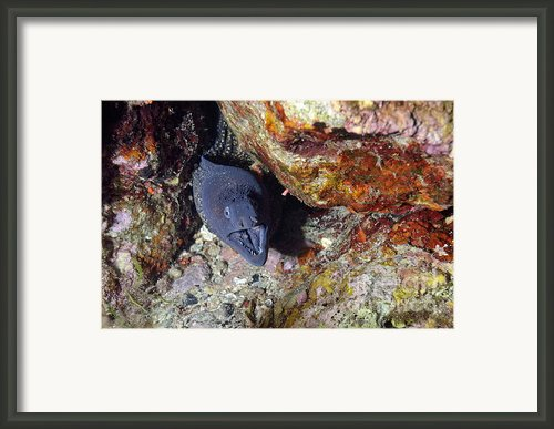 Agressive Attitude Of Moray-eel Muraena Helena In Its Hole Framed Print By Sami Sarkis