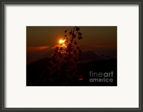 Ahinahina - Silversword - Argyroxiphium Sandwicense - Sunrise On The Summit Haleakala Maui Hawaii  Framed Print By Sharon Mau