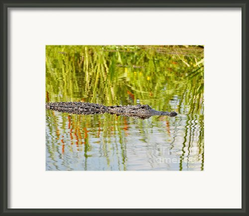Alligator Reflection Framed Print By Al Powell Photography Usa