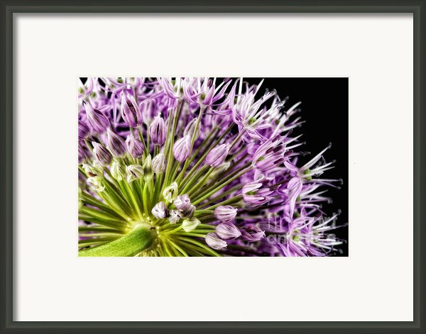 Allium Framed Print By Mark Johnson
