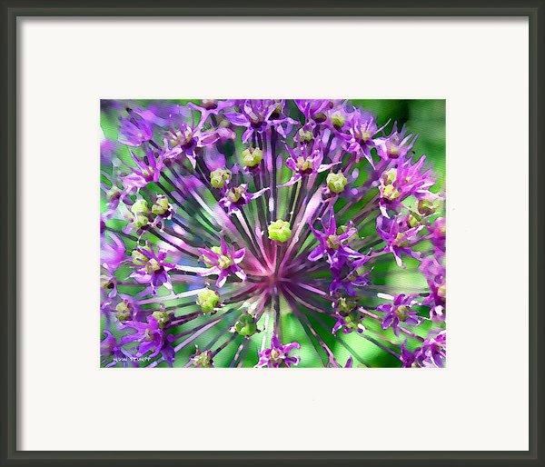 Allium Series - Close Up Framed Print By Moon Stumpp