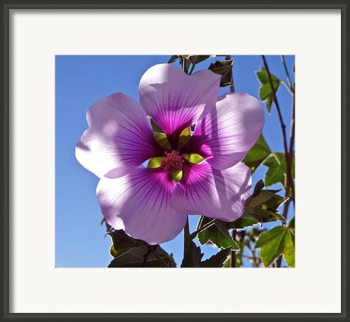 Althea Flower Framed Print By K Kingston