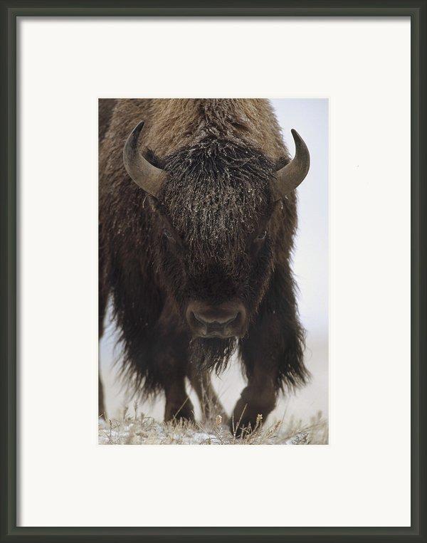 American Bison Portrait Framed Print By Tim Fitzharris