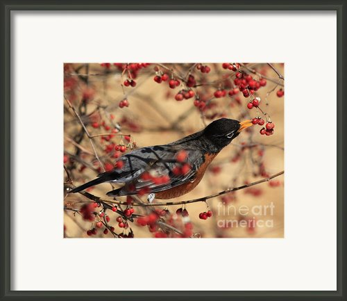 American Robin Eating Winter Berries Framed Print By Inspired Nature Photography By Shelley Myke