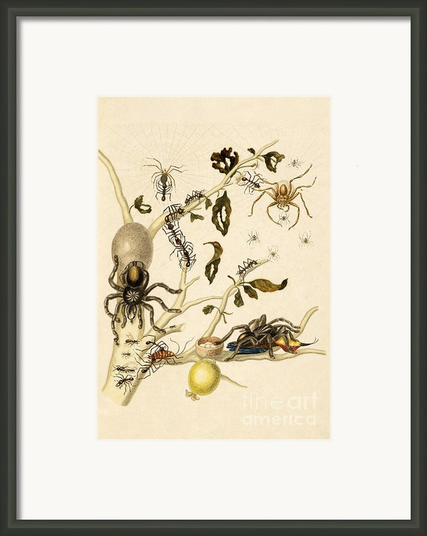 Ants Spiders Tarantula And Hummingbird Framed Print By Getty Research Institute