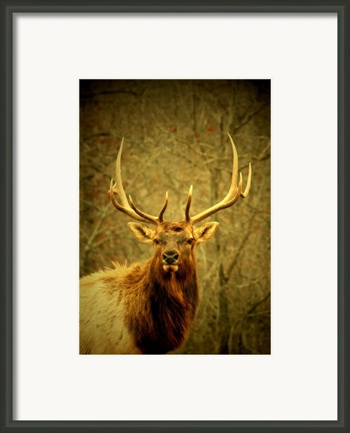 Arkansas Elk Framed Print By Linda Fowler