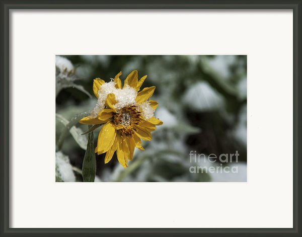 Arrowleaf Balsamroot In Snow Framed Print By Robert Weiman