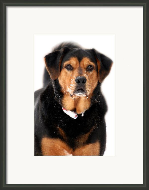 Attentive Labrador Dog Framed Print By Christina Rollo