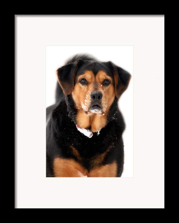 Attentive Labrador Dog Framed Print By Christina Rollo
