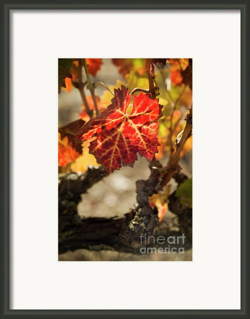 Autumn Grape Leaves Framed Print By Charmian Vistaunet