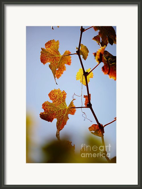 Autumn Grapevine Framed Print By Dry Leaf