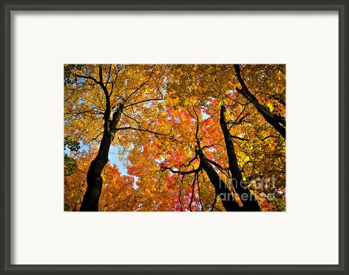 Autumn Maple Trees Framed Print By Elena Elisseeva