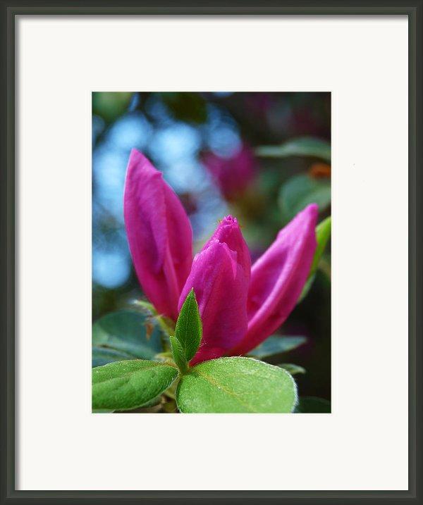 Azalea Bud Framed Print By Terry Eve Tanner