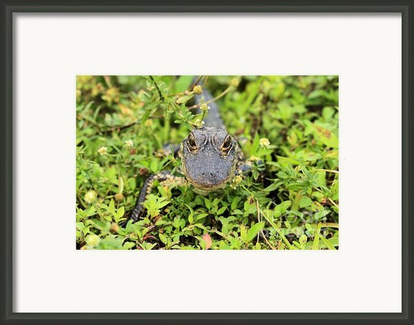 Baby Gator Framed Print By Adam Jewell