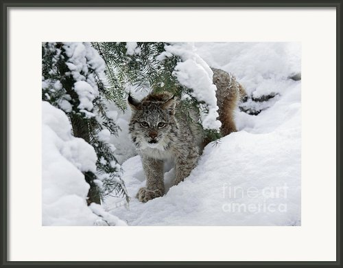 Baby Lynx Hiding In A Snowy Pine Forest Framed Print By Inspired Nature Photography By Shelley Myke