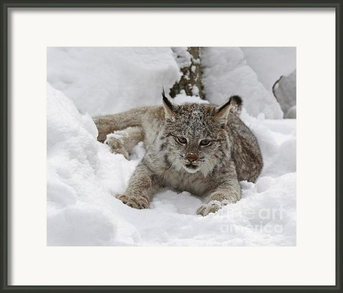 Baby Lynx On A Lazy Winter Day Framed Print By Inspired Nature Photography By Shelley Myke
