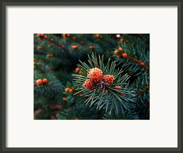 Baby Pinecones Framed Print By Julie Dant