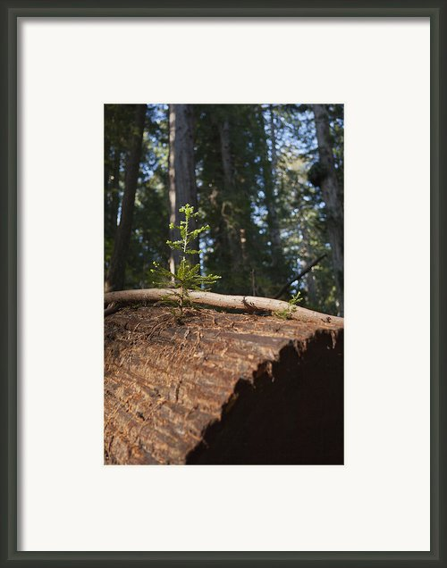 Baby Redwood Framed Print By Joel Moranton