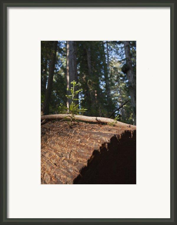 Baby Redwood Framed Print By Joel Moranton