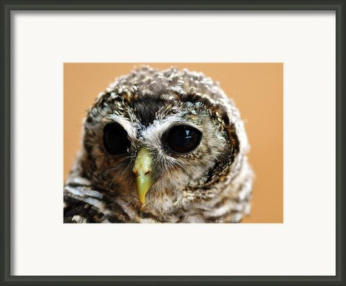Baby Rufous Legged Owl Framed Print By Bev  Brown