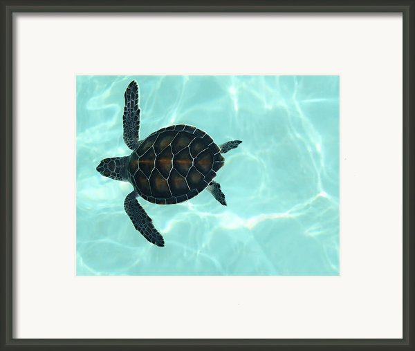 Baby Sea Turtle Framed Print By Ellen Henneke