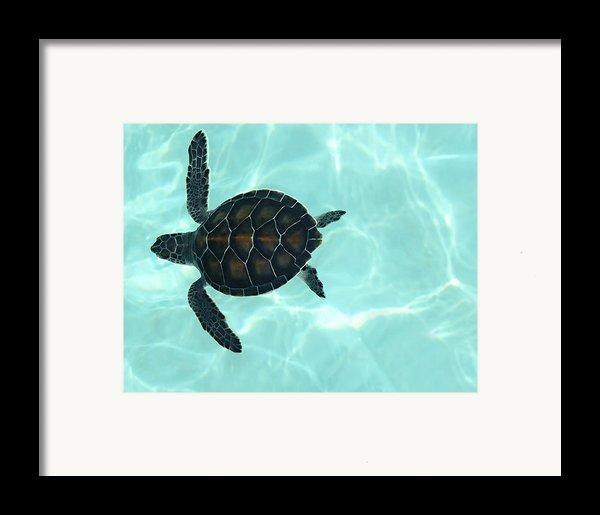 Baby Sea Turtle Framed Print By Ellen Henneke