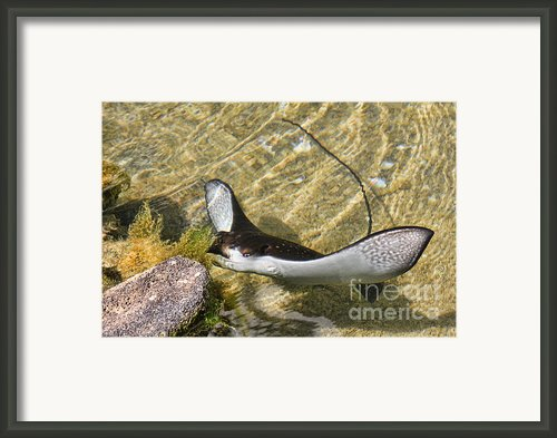 Baby Stingray Hawaii Framed Print By Leslie Kirk