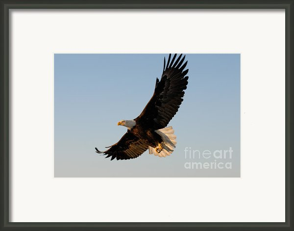 Bald Eagle Flying With Fish In Its Talons Framed Print By Stephen J Krasemann
