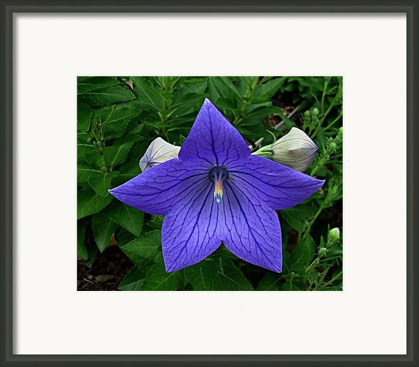 Balloon Flower Framed Print By Julie Dant