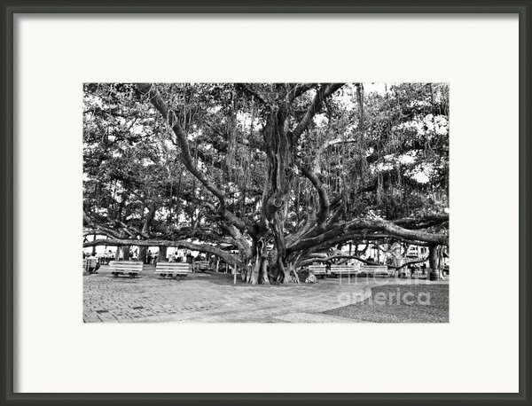 Banyan Tree Framed Print By Scott Pellegrin