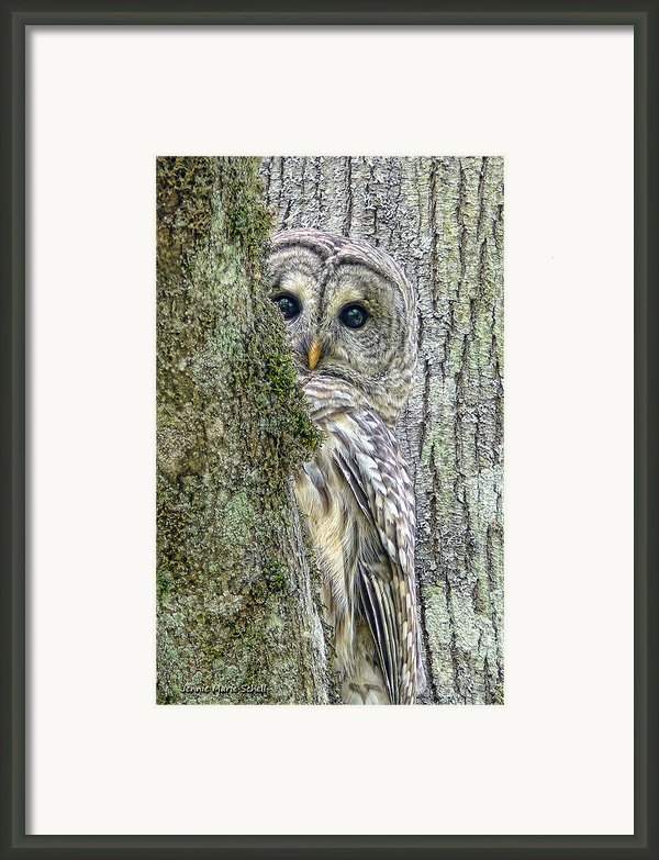 Barred Owl Peek A Boo Framed Print By Jennie Marie Schell