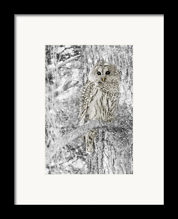 Barred Owl Snowy Day In The Forest Framed Print By Jennie Marie Schell