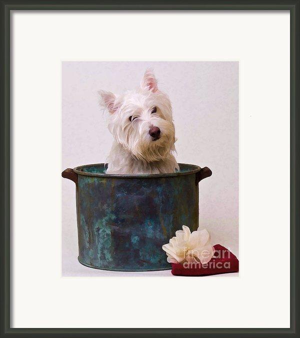 Bath Time Westie Framed Print By Edward Fielding