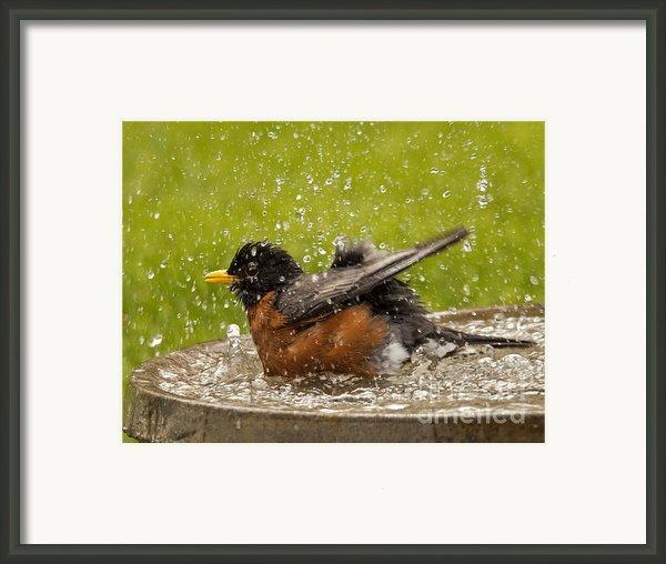 Bathing Robin Framed Print By Inge Riis Mcdonald